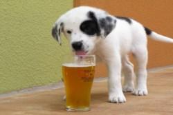 Создали специальное пиво для собак!